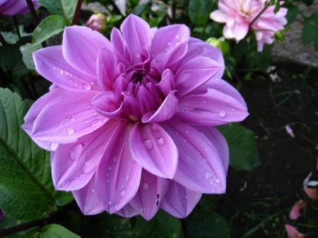 dalia violeta1